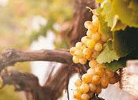 Ihringer-Winzergenossenschaft Wein Kaiserstuhl deutsche-Weissweine Baden-Wein Grauburgunder